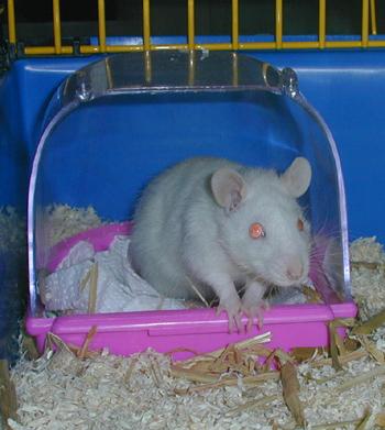 comment tuer un rat dans une maison gallery of pige a souris et rats fait maison la manire. Black Bedroom Furniture Sets. Home Design Ideas